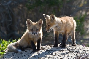 800px-Two_Vulpes_vulpes_pups
