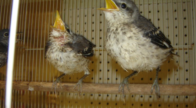 Fledgling Birds learning to fly, should be left alone